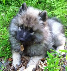 Luna the Keeshond | Puppies | Daily Puppy