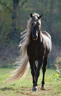 Beautiful black horse with light mane and tail.