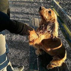 Hello! I'm dog so nice to meet You! Foto di: @bellonathecocker #BauSocial  Would you marry me? #cocker #cockerspaniel #cockerspanielworld #cockersofinstagram #cockerspaniels #cockerspanielsofinstagram #cockerlove #dog #cane #dogsofinstagram #dogoftheday #doglover #doggie #seniordog #animaladdicts #mydogisthecutest #bestwoof #besomedoggy #dogsonadventures #dailycockerpictures #thegreatoutdogs #mywilddog  #excellent_dogs #igcutest_animals #sendadogphoto #buzzfeedanimals #repost