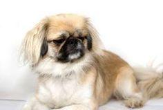 Honden: De Pekinees met zijn platte snuit net zoals onze Billy