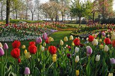 Tulips - Holland