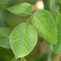 Poison oak rash poison oak and poisons on pinterest