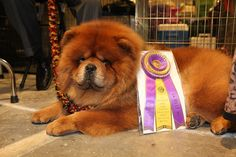 Slideshow: The Westminster Dog Show Was As Stylish As Ever Martha Stewarts Chow Chow, Dschingis Khan, auf der diesjährigen Westminster Dog Show. SO FLUFFYYY! Fluffy Puppies, Cute Puppies, Dogs And Puppies, Doggies, Westminster Dog Show, Best Dogs For Families, Family Dogs, Chinese Dog, Chow Chow Dogs