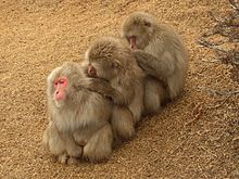 """The Japanese macaque (/məˈkɑːk/;[2] Macaca fuscata), is a terrestrial Old World monkey species native to Japan. It is also sometimes known as the snow monkey.. In Japan, the species is known as Nihonzaru (Nihon """"Japan"""" + saru """"monkey"""") to distinguish it from other primates, but the Japanese macaque is very familiar in Japan, so when Japanese people simply say saru, they usually have in mind the Japanese macaque."""