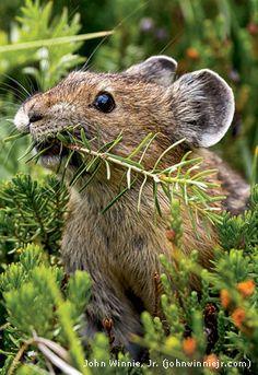 Pika eating fir needles
