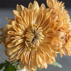 Chrysanthemums <i>(Chrysanthemum grandiflorum)</i> - Show-Stopping Fall Flowers for Pots - Sunset
