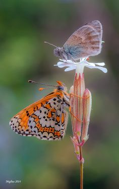 Coenonimpha and Melitaea, butterfly and butterfly.