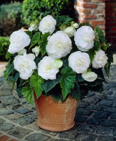 Begonia (Begonia Tuberosa Double White) - Begonia Tuberosa is such a versatile plant and a great performer! It can be grown from Begonia seeds, and forms a small compact plant that gives a wonderful d Moon Garden, Garden Pots, Herb Garden, Container Plants, Container Gardening, White Flowers, Beautiful Flowers, Exotic Flowers, Yellow Roses