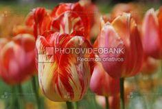 Tulipas | PHOTOVIDEOBANK Tulipas, flores no jardim durante a primavera, close up de flor tulipa de Darwin – Banja Luka – tulipas híbridas.