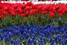 Muscari flowers and red tulips in a flower festival, Taean, South Korea