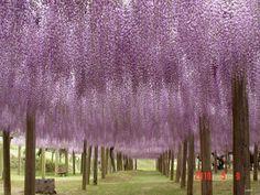 O túnel de Glicínias no jardim de Kawachi Fuji no Japão 06