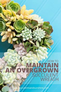 Learn what to do when your succulent wreath is overgrown
