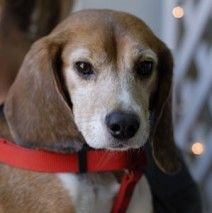 ADOPTED! Jeffrey is one of the 10 rescued from a laboratory in San Diego, CA. He is a very sweet, quiet and active little guy.