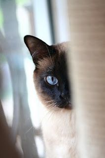 Like many other cat breeds exact origin of Siamese is also a mystery.However these cats are thought to be originated in Thailand and because of (The Siam) they have got their name as Siamese cats.These medium to large sized cats are one of the most vocal of all cat breeds and can be demanding sometimes.They are intelligent and clever.You can not hide any thing you do at house if you keep a Siamese cat.