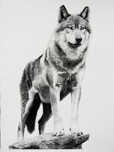 Alpha by William Harrison Wolff Carbon Pencil ~ 41 Wolf Tattoos, Animal Tattoos, Wolf Tattoo Design, Tattoo Designs, Wolf Design, Art Design, Wolf Spirit, Spirit Animal, Animal Drawings