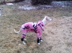 Aerrow the Whippet from Chicago wearing the Theo Sport Overall