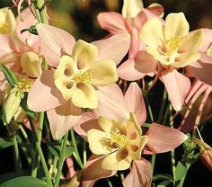 Aquilegia 'Swan Pink and Yellow' - White Flower Farm