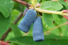Honeyberry / Blue or edible honesuckle (Lonicera caerulea) - Жимолость голубая - Blaue Heckenkirsche