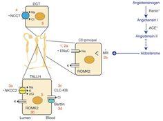 Nephron mechanisms in Liddle, Bartter & Gitelman syndromes