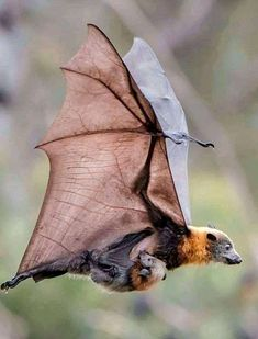 The grey-headed flying fox (Pteropus poliocephalus) is distinguished from other flying fox species in Australia by its reddish-brown collar which separates its light-grey head from its dark-grey body. After birth, young flying foxes will cling to their mothers for 3 weeks as they go foraging. : Awwducational