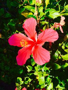 Hibiscus pink flower, own photography