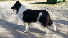 Mountain Wave McAfee | Old-Time Scotch Collie Pedigree Database
