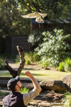 Australian Kestrels are one of two Australian raptors that will hover to locate or frighten their prey into the open. Here's Rusty, our Australian Kestral, showing off how he can now hover above his keepers when asked.