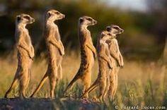 meerkats in the wild...