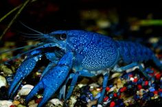 This Blue Lobster is Literally is listed (or ranked) 8 on the list 33 Colorful Animals Who Look Photoshopped