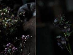 dark hellebores, saipua, photo by Sarah Ryhanen