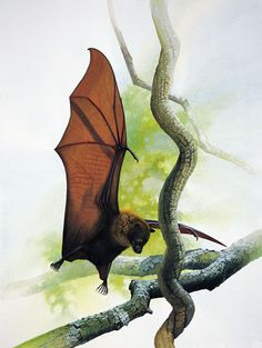 Guam Flying Fox  The Guam Flying Fox was a small megabat or fruit bat, native to Guam the southernmost islands among the Marianas island chain. Considered a delicacy in Marianas, this species of fruit bat was extensively hunted as a food source, which led to its extinction in the mid 20th century. Other than this loss of habitat owing to World War II and predation by brown tree snakes led to extermination of the Guam flying fox from the island. The last Guam flying fox was spotted at Tarague…