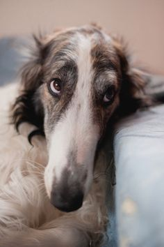 z- Borzoi- On Couch (Revival74)