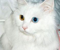 導讀:山東獅子貓又稱為臨獅貓、臨清貓,或是獅子貓。牠與波斯貓外型相似,因此許多寵物商人會將臨獅貓混充波斯貓販賣,以下內容教你如何正確分辨山東獅子貓,以及如何護理有如波斯貓的濃密、厚實的長被毛。