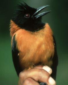 hooded pitohui...a poisonous bird found in New Guinea.