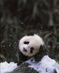 just making a snow panda...