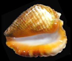 Giant East Pacific Conch Lobatus galeatus (Swainson), up to 225 mm in length, very massive and heavy