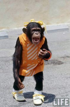 little girl chimp Monkey See Monkey Do, Ape Monkey, Funny Animal Pictures, Funny Animals, Cute Animals, Chimpanzee, Orangutan, Planet Of The Apes, Monkey Business