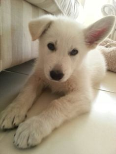 I'll take this white german sheppard pup, thanks. Looks like our girl summit!  Miss her!