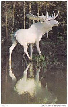 """[ALBINO MOOSE FROM NORWAY:  """" Worrys be a mis- use of de mind, but me haz betters concerns than wonderin' if me coulds pass az white chocolate."""""""