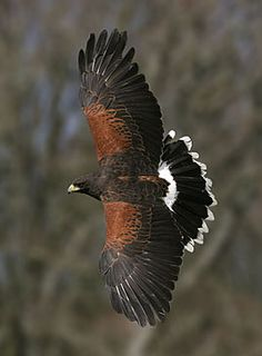 Harris' hawk, ive helped fly one of these and they are beautiful