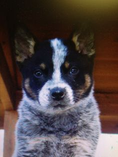 i want one sooo bad Baby Puppies, Cute Puppies, Australian Dog Breeds, Animals Beautiful, Cute Animals, Austrailian Cattle Dog, All Breeds Of Dogs, Loyal Dogs, Dog Rules