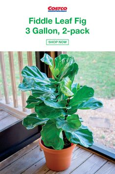 Fiddle Leaf Fig 3 Gallon, Bring the Forest Indoors With This Easy to Care For Houseplant Protect Against Cold or Drafty Vents, Too Much Sunlight, and Overwatering Mature Height: Feet as Houseplants Garden Plants, Indoor Plants, Indoor Ivy, Pot Plants, Live Plants, Fiddle Leaf Fig, Exotic Flowers, Plant Care, Plant Decor