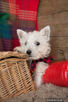 Life is a picnic if you have a Westie.  westie puppy photographs   Adorable Westie Puppies!   Warrington, Cheshire   Pets4Homes