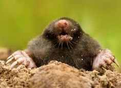 Mole Remove warts, moles, and skin tags in 3 days without surgery Skin Tag Removal, Mole, Exotic Pets, Cute Animals, Wild Animals, Wildlife, Remove Warts, Surgery, Paradis