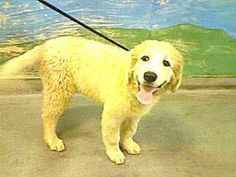 13-06763 is an adoptable Great Pyrenees Dog in Downey, CA. 13-06763 Great Pyrenees Cream Impounded on 08/31/2012 from Pico Rivera Availability Date 09/07/2012 call to confirm...