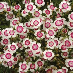 "Dianthus deltoides 'Arctic Fire' Maiden Pink Hardy Perennial Flowering Period:May, June, July, August, September Position:full sun Long lasting, white jagged-edged petals with a fiery red eye smother this dwarf hardy perennial throughout summer. Dianthus deltoides 'Arctic Fire' forms neat clumps of silver green foliage that makes stunning ground cover and looks superb as a path edging or dotted throughout rockeries. Height: 20cm (8""). Spread: 30cm (12"")."
