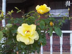 Yellow roses...photo by Paula Gallagher