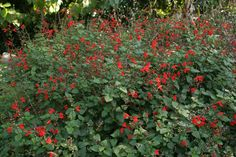 Tropical Sage (Salvia coccinea) - shade loving perennial