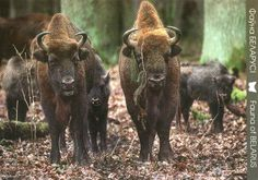 European bison from Moscow