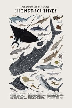 Creatures of the class Chondrichthyes, 2016. Art print of an illustration by Kelsey Oseid. This poster chronicles 31 amazing sharks, rays, and chimaeras from the taxonomic class Chondrichthyes.   Print measures 12x18 inches. Printed in Minneapolis on acid free 80# Mohawk Superfine cover.  Packaged rolled with kraft tissue in a protective tube.